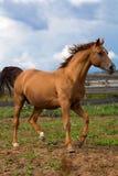 Red Gold arabian horse. Prance Stock Photos