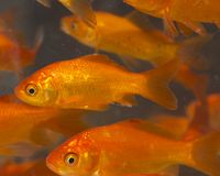 Red and gold fishes Royalty Free Stock Photos