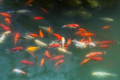 Red and gold fishes over water golden Royalty Free Stock Photography