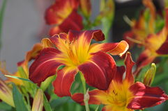 Red and Gold Giant Day Lilly Stock Photography
