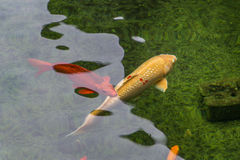 Red and Gold Koi fishs swimming in the pond. Red and Gold Koi fishs swim in the pond Royalty Free Stock Photo