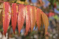 Red and gold leaves royalty free stock photo