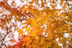 Red and Gold Maple Leaves against the sky at Koko-en Garden in Himeji. Red and Gold Maple Leaves against the sky on a blurred autumn foliage background at Koko royalty free stock photo