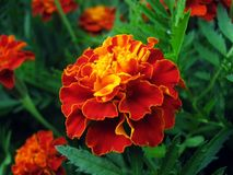 Red-gold marigold in the garden stock images