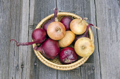 Red and gold onion bulbs in wicker plate Royalty Free Stock Image