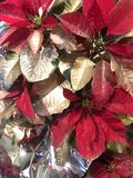 Red & Gold Pointsettias. Red pointsettas are embellished with gold spray Royalty Free Stock Images