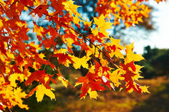 The red and golden maple leaves  backlight Stock Photography