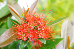 Red Golden Penda flower Stock Photo