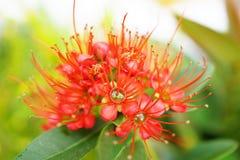 Red Golden Penda flower Stock Image