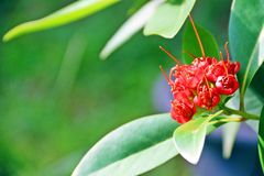 Red Golden Penda flower. On the right with space for wrriting on the left on fresh green background Stock Image