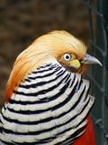 Red golden pheasant Royalty Free Stock Photography