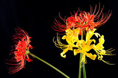 Red and golden spider lily Stock Image