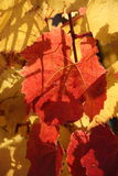 Red and golden vine leaves Royalty Free Stock Image