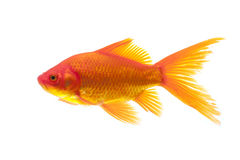 Red Goldfish Royalty Free Stock Photos