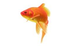 Red Goldfish Royalty Free Stock Photo