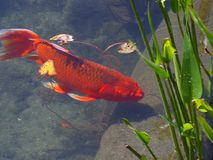 Red Goldfish stock photography