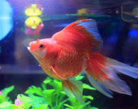 Red goldfish in aquarium Royalty Free Stock Photography