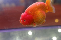The red goldfish in aquarium Stock Photos