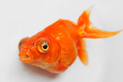 Red goldfish. Closeup with white background Stock Photo