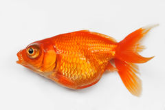 Red goldfish. Closeup with white background Stock Image