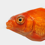 Red goldfish. Closeup with white background Stock Images
