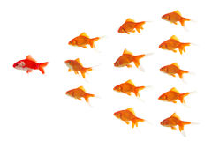 Red goldfish leading stock images