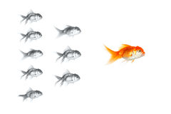 Red goldfish leading Royalty Free Stock Images