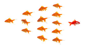 Red goldfish leaving group Stock Images