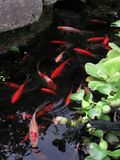 Red Goldfish in a Small Pond Stock Images