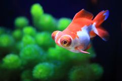 Red goldfish swimming Royalty Free Stock Photos