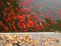Red goldfishes royalty free stock photography