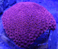 Red Goniopora Coral. Detail of bright red goniopora coral underwater Royalty Free Stock Image