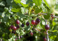 Red gooseberries Stock Photography