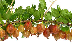 Red gooseberries Royalty Free Stock Images