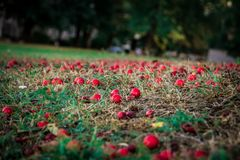 Red gooseberries fell to the ground stock image