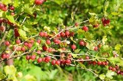 Red gooseberries in garden Royalty Free Stock Image
