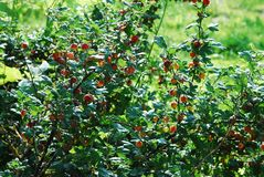 Red gooseberries hanging on a bush Royalty Free Stock Photo