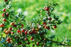 Red gooseberries hanging on a bush Royalty Free Stock Image