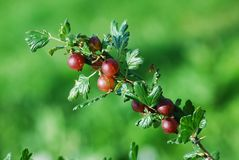 Red gooseberries hanging on a bush Stock Photo