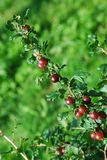 Red gooseberries hanging on a bush Royalty Free Stock Photography