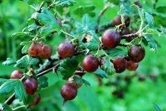 Red gooseberries hanging on a bush Stock Photography