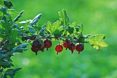 Red gooseberries hanging on a bush Stock Images