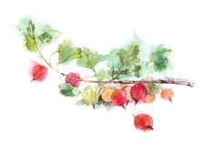 Red gooseberries watercolor image Royalty Free Stock Photos