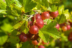 Red gooseberry. Close-up of berries of red gooseberry Royalty Free Stock Photos