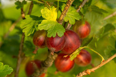 Red gooseberry berries on a branch surrounded by leaves. Illuminated by sunlight Stock Image
