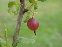 Red gooseberry stock photo