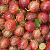 Red gooseberry close-up, background Stock Photo