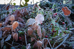 Red gooseberry, dry twigs and leaves are covered with hoarfrost Stock Photo