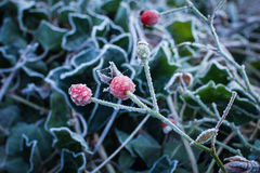 Red gooseberry among green leaves are covered with hoarfrost Royalty Free Stock Photo