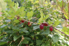 Red Gooseberry Royalty Free Stock Photography